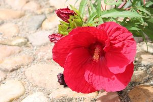 giant hibiscus flower on stone walkway