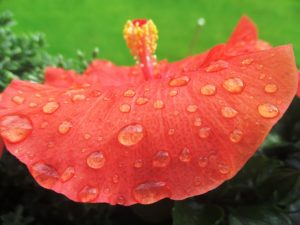 close-up of hibiscus flower with rain drops